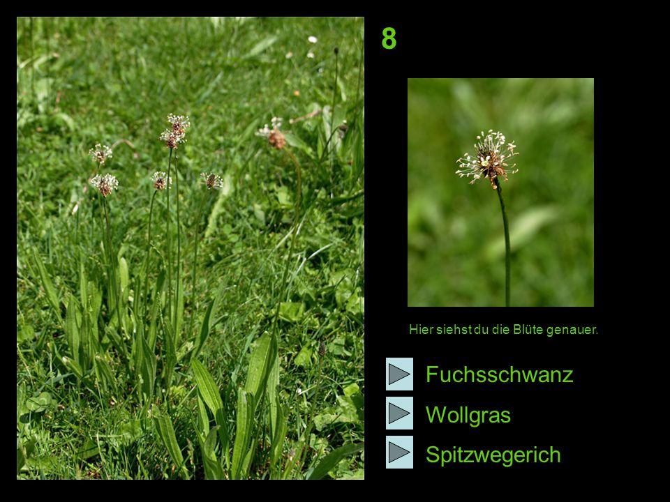 8 Hier siehst du die Blüte genauer. Fuchsschwanz Wollgras Spitzwegerich