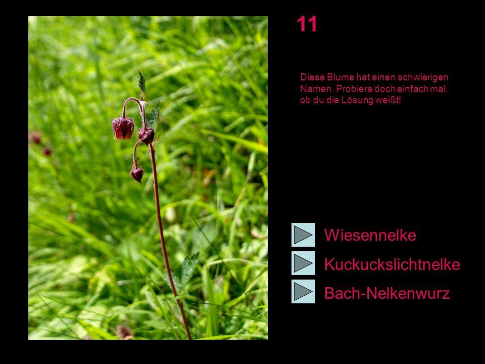 11 Wiesennelke Kuckuckslichtnelke Bach-Nelkenwurz Diese Blume hat einen schwierigen Namen. Probiere doch einfach mal, ob du die Lösung weißt!