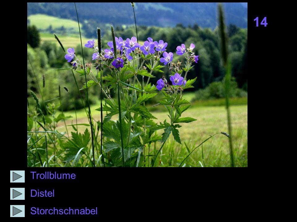 14 Trollblume Distel Storchschnabel
