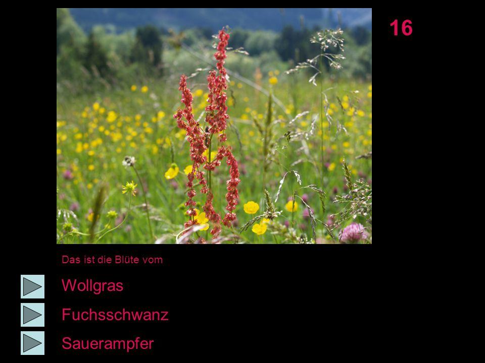 16 Das ist die Blüte vom Wollgras Fuchsschwanz Sauerampfer