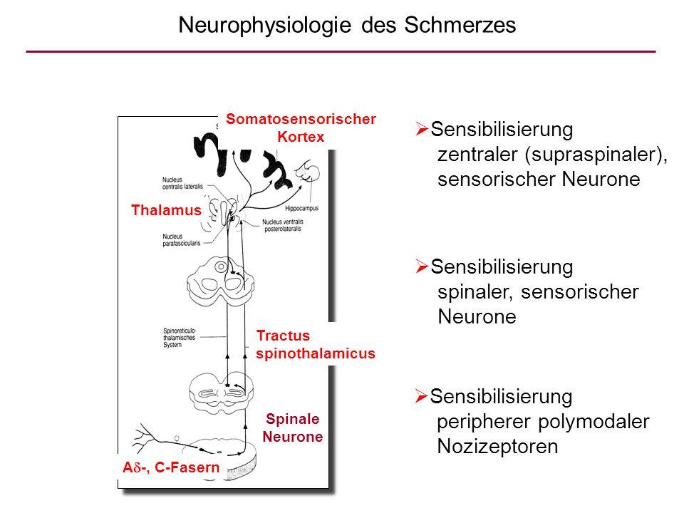  Sensibilisierung peripherer polymodaler Nozizeptoren  Sensibilisierung spinaler, sensorischer Neurone  Sensibilisierung zentraler (supraspinaler),