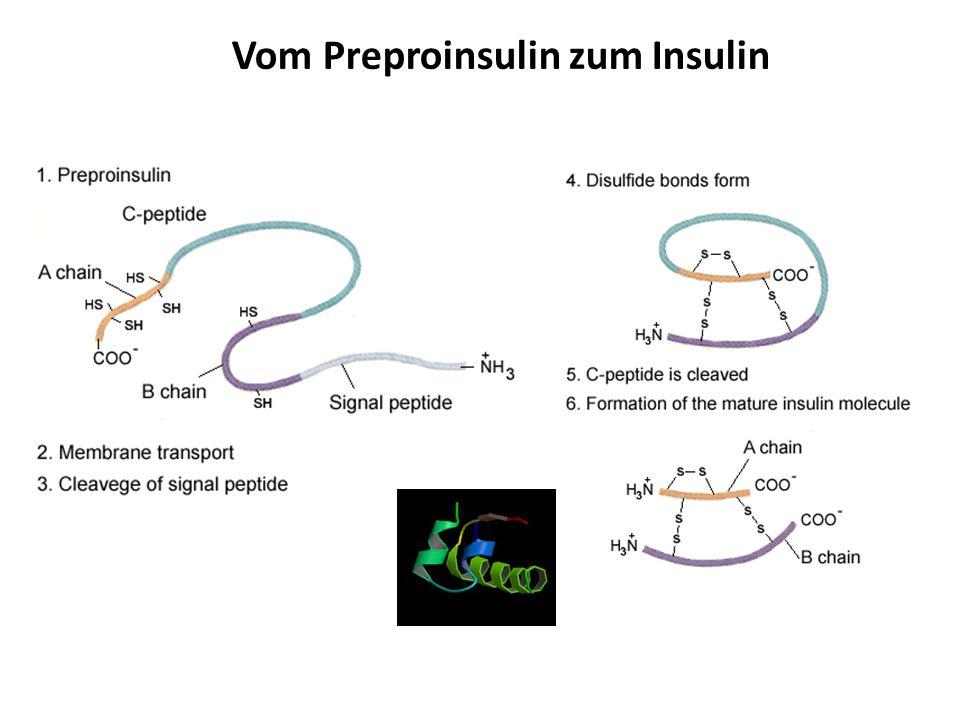 Vom Preproinsulin zum Insulin