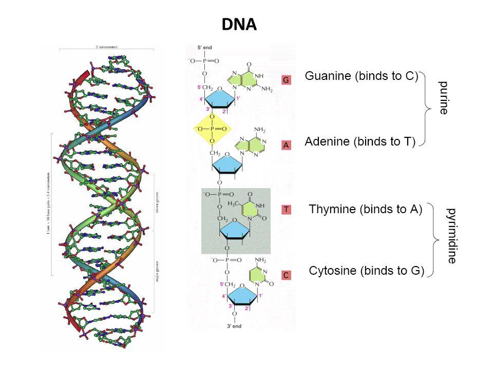 Symbol MeaningDescription RA or G puRine YC or T pYrimidine WA or T Weak hydrogen bonds SG or C Strong hydrogen bonds MA or C aMino groups KG or T Keto groups HA, C, or T (U) not G, (H follows G) BG, C, or T (U) not A, (B follows A) VG, A, or C not T (U), (V follows U) DG, A, or T (U) not C, (D follows C) NG, A, C or T (U) aNy nucleotide Nomenklatur von Nukleinsäuren Base Symbol Occurrence Adenin A DNA, RNA Guanin G DNA, RNA Cytosin C DNA, RNA Thymin T DNA Uracil U RNA