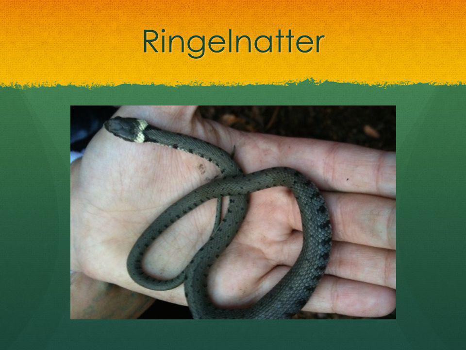 Ringelnatter