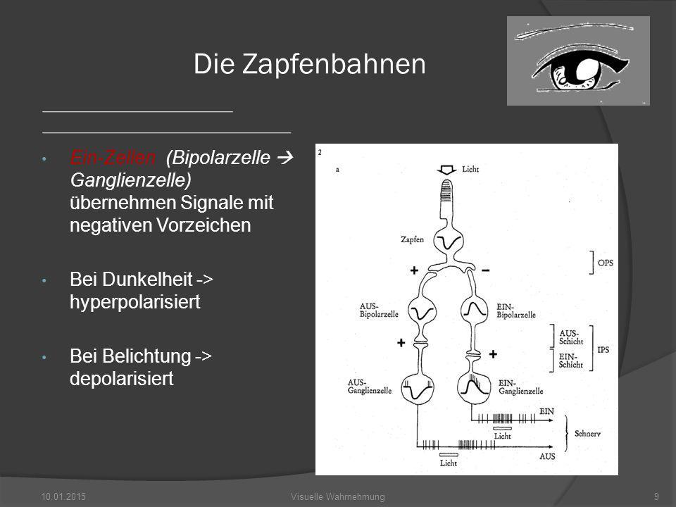 Die Zapfenbahnen Ein-Zellen (Bipolarzelle  Ganglienzelle) übernehmen Signale mit negativen Vorzeichen Bei Dunkelheit -> hyperpolarisiert Bei Belichtung -> depolarisiert 10.01.2015Visuelle Wahrnehmung9