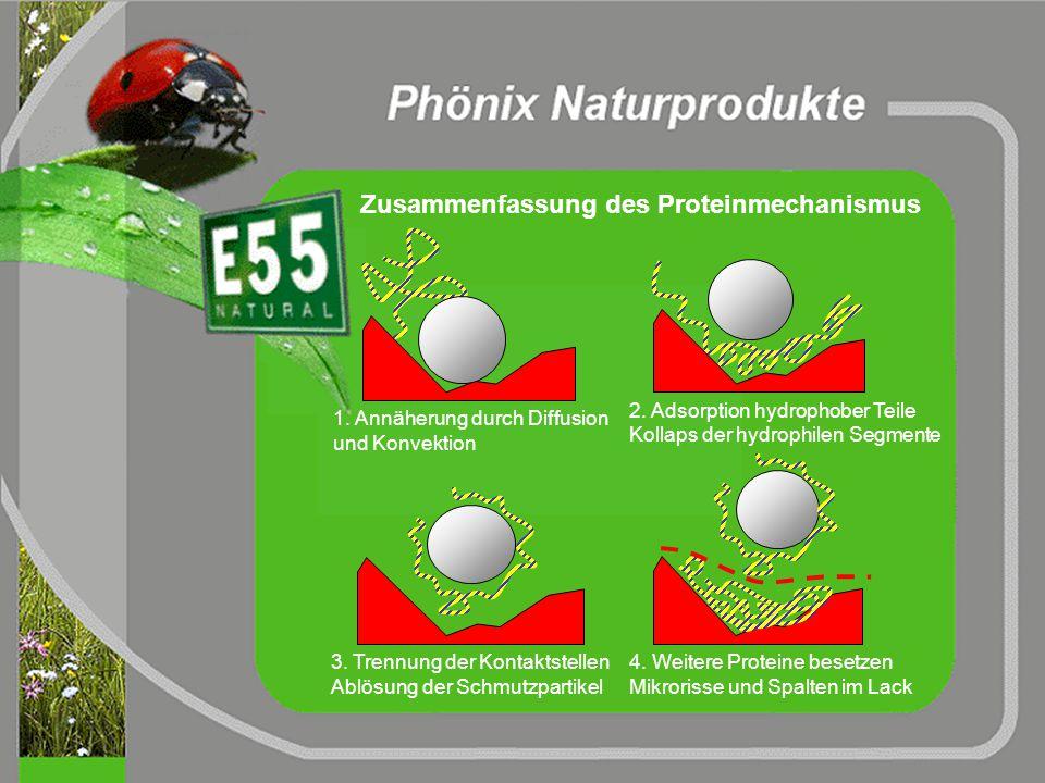Anlagerung an Oberflächen Wirkung der E55-Proteine hydrophil hydrophob 1. Annäherung durch Diffusion und Konvektion 2. Adsorption hydrophober Teile Ko