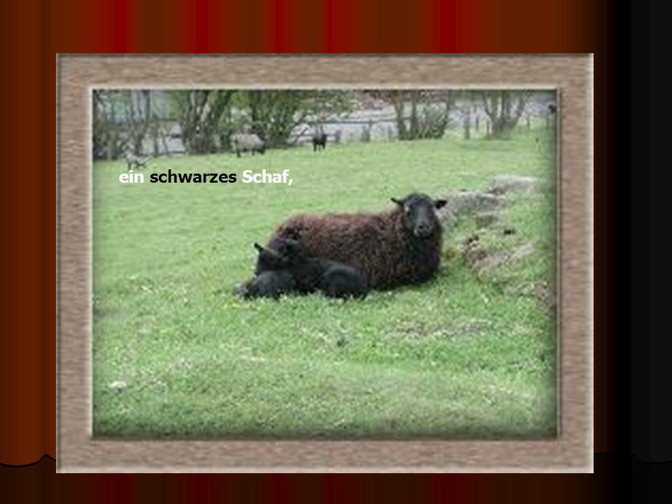 ein schwarzes Schaf,