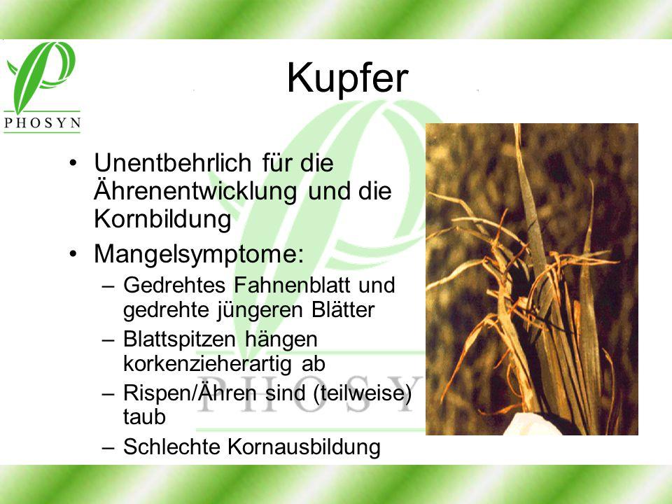 Kupfer Unentbehrlich für die Ährenentwicklung und die Kornbildung Mangelsymptome: –Gedrehtes Fahnenblatt und gedrehte jüngeren Blätter –Blattspitzen h