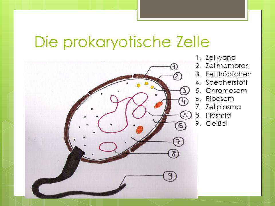 Die prokaryotische Zelle 1.Zellwand 2.Zellmembran 3.Fetttröpfchen 4.Specherstoff 5.Chromosom 6.Ribosom 7.Zellplasma 8.Plasmid 9.Geißel