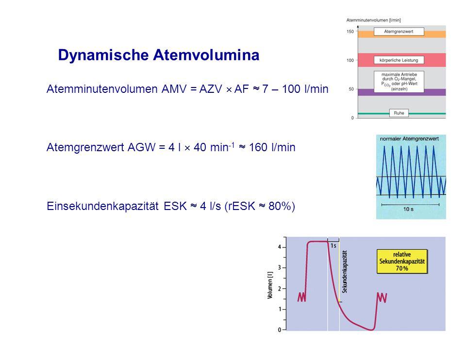 Dynamische Atemvolumina Atemminutenvolumen AMV = AZV  AF  7 – 100 l/min Einsekundenkapazität ESK  4 l/s (rESK  80%) Atemgrenzwert AGW = 4 l  40 min -1  160 l/min