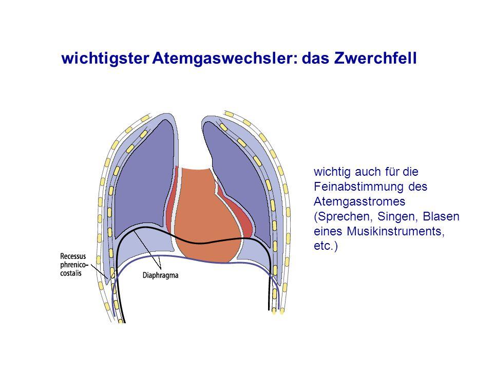 wichtigster Atemgaswechsler: das Zwerchfell wichtig auch für die Feinabstimmung des Atemgasstromes (Sprechen, Singen, Blasen eines Musikinstruments, etc.)