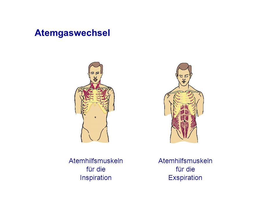 Atemgaswechsel Atemhilfsmuskeln für die Inspiration Atemhilfsmuskeln für die Exspiration
