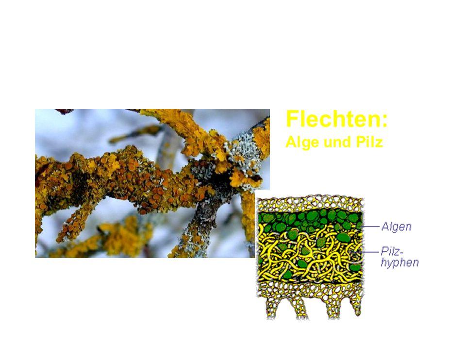 Symbiose Flechten: Alge und Pilz