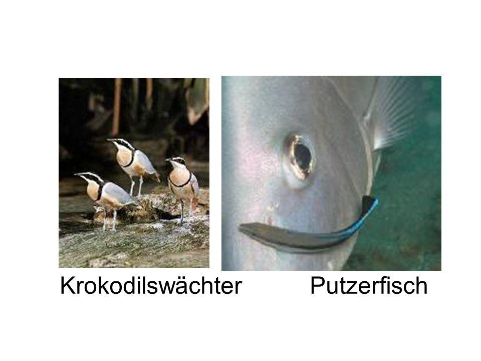 Krokodilswächter Putzerfisch