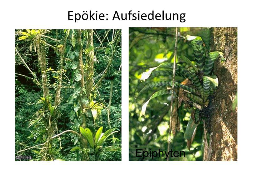 Epökie: Aufsiedelung Epiphyten