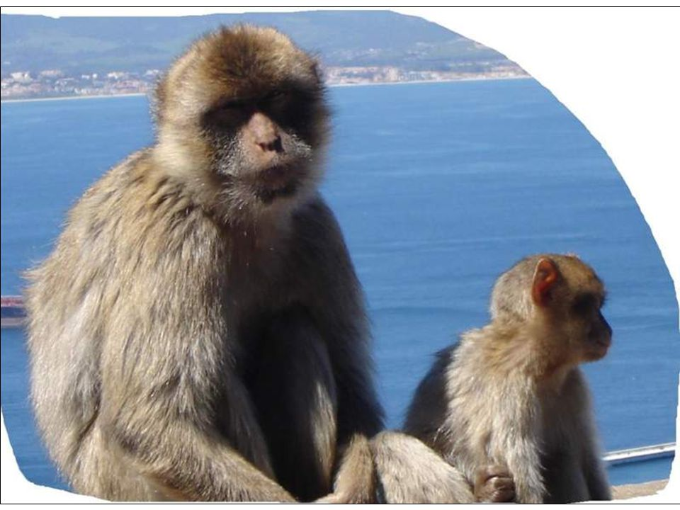 Gibraltar is where the British May Reign, but the Monkeys Rule.