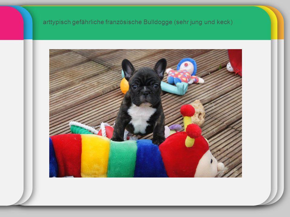 arttypisch gefährliche französische Bulldogge (sehr jung und keck)
