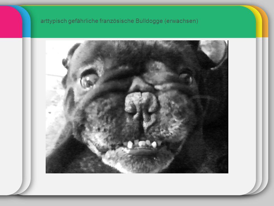 arttypisch gefährliche französische Bulldogge (erwachsen)