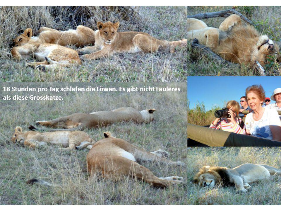 Die Paviane sind aufgeregt, weil der Leopard vor ihren Augen eine Antilope gerissen hat, von der sie sich ein Stück holen wollen.
