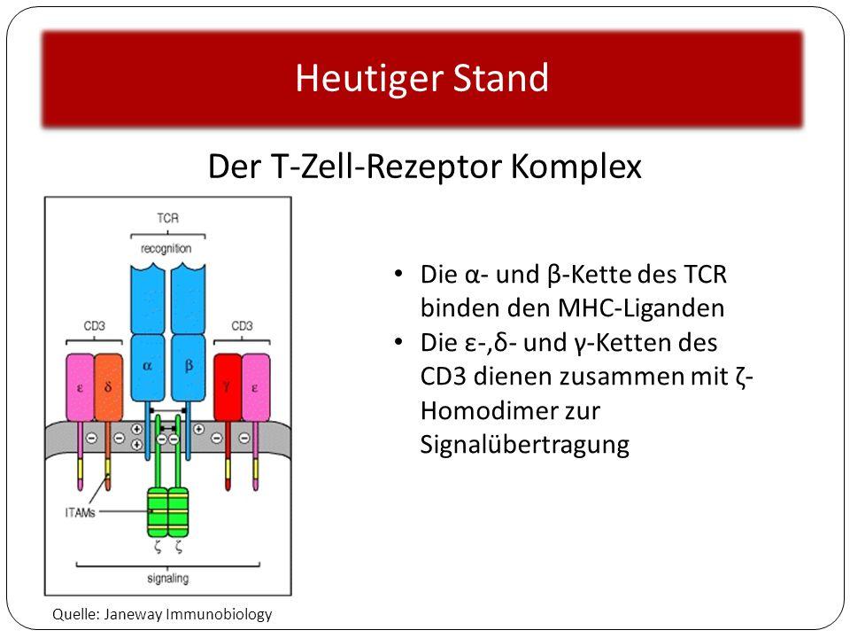 Heutiger Stand Quelle: Janeway Immunobiology Der T-Zell-Rezeptor Komplex Die α- und β-Kette des TCR binden den MHC-Liganden Die ε-,δ- und γ-Ketten des