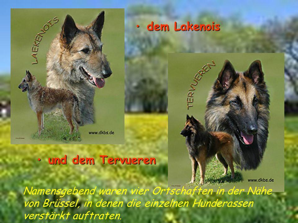 dem Lakenois und dem Tervuerenund dem Tervueren Namensgebend waren vier Ortschaften in der Nähe von Brüssel, in denen die einzelnen Hunderassen verstä