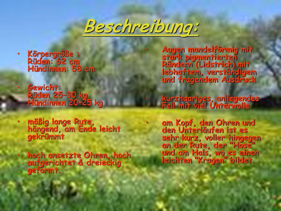 Der Groenendael (ausgesprochen Chunendaal) ist eine Varianate des belgischen Schäferhundes schwarz, langes, glattes Fell(ausgesprochen Chunendaal) ist eine Varianate des belgischen Schäferhundes schwarz, langes, glattes Fell