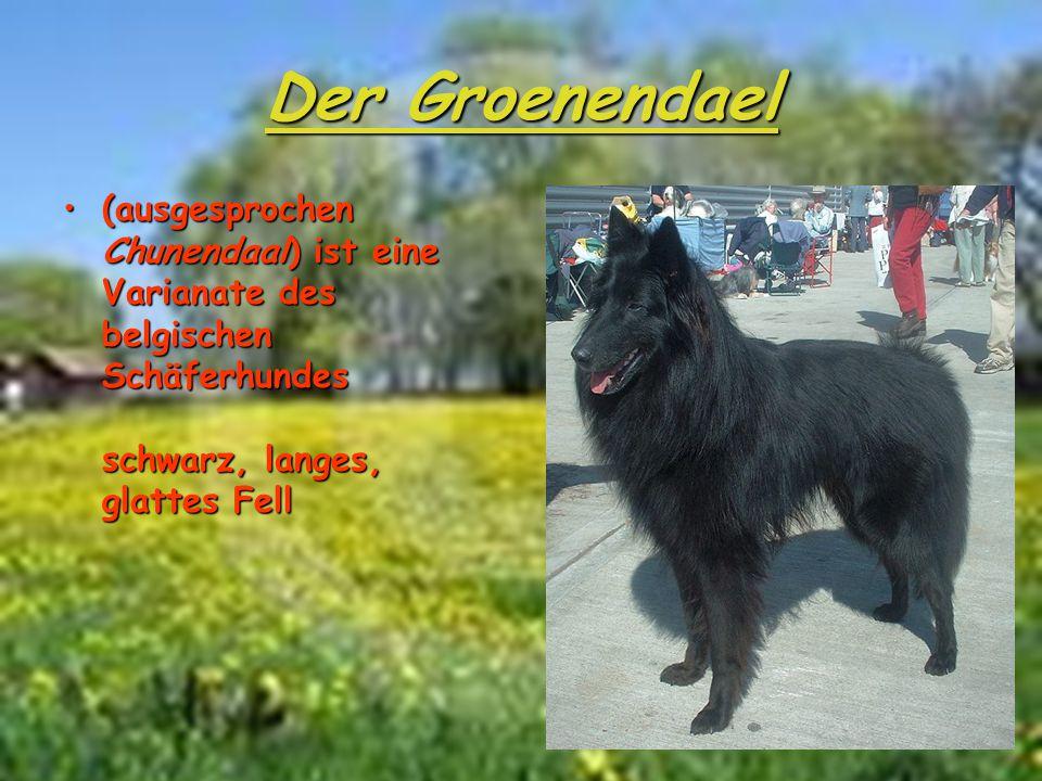 Der Groenendael (ausgesprochen Chunendaal) ist eine Varianate des belgischen Schäferhundes schwarz, langes, glattes Fell(ausgesprochen Chunendaal) ist