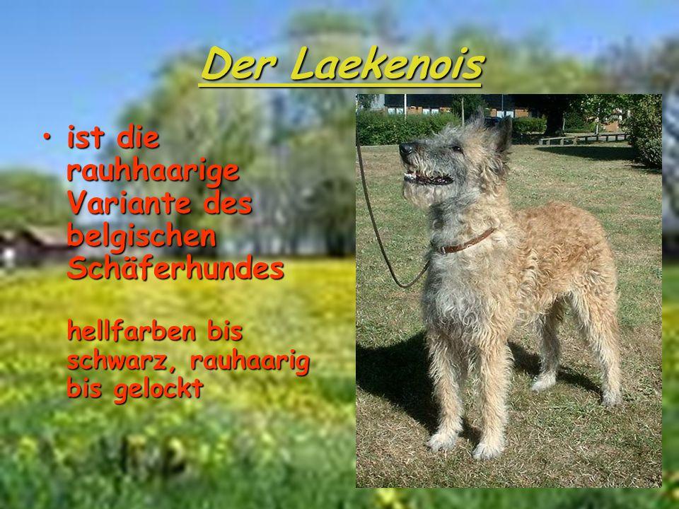 Der Laekenois ist die rauhhaarige Variante des belgischen Schäferhundes hellfarben bis schwarz, rauhaarig bis gelocktist die rauhhaarige Variante des