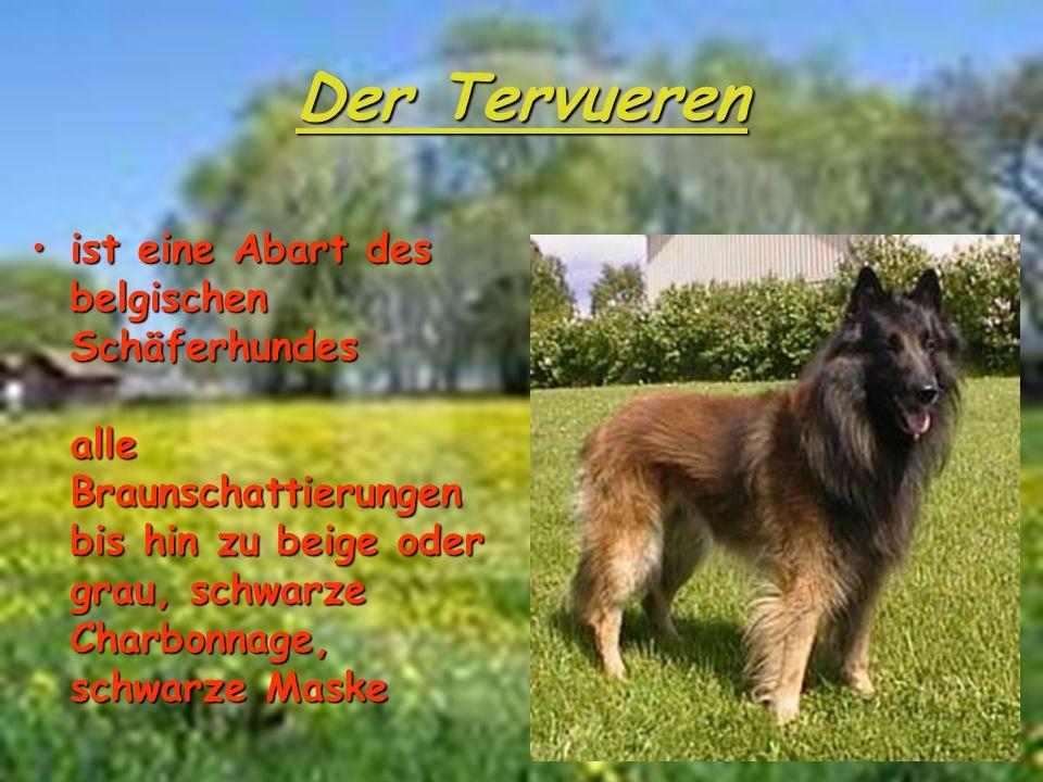 Der Tervueren ist eine Abart des belgischen Schäferhundes alle Braunschattierungen bis hin zu beige oder grau, schwarze Charbonnage, schwarze Maskeist