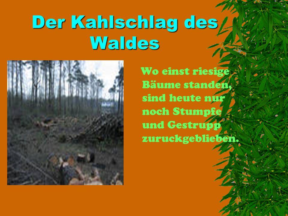 Der Kahlschlag des Waldes Wo einst riesige Bäume standen, sind heute nur noch Stumpfe und Gestrupp zuruckgeblieben.