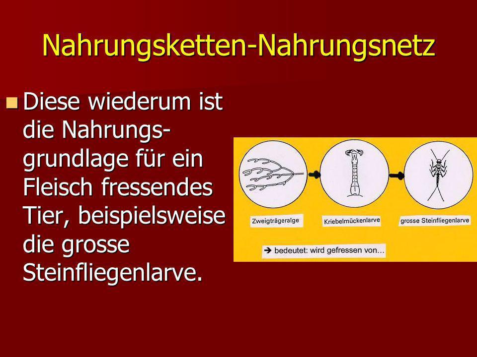 Nahrungsketten-Nahrungsnetz Diese wiederum ist die Nahrungs- grundlage für ein Fleisch fressendes Tier, beispielsweise die grosse Steinfliegenlarve. D