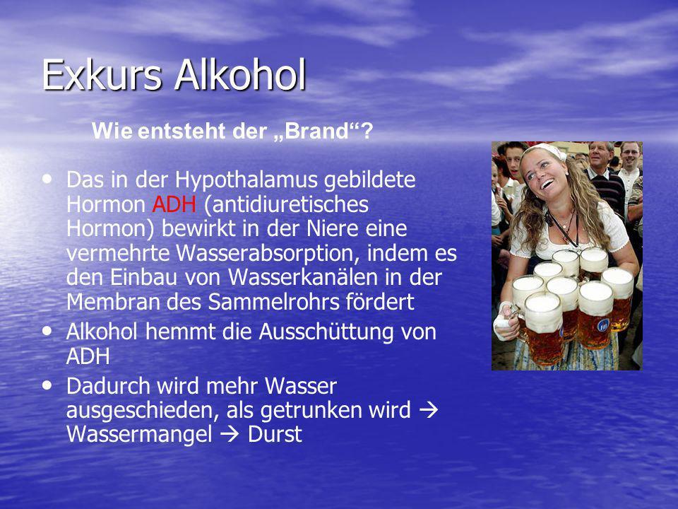 Exkurs Alkohol Das in der Hypothalamus gebildete Hormon ADH (antidiuretisches Hormon) bewirkt in der Niere eine vermehrte Wasserabsorption, indem es d
