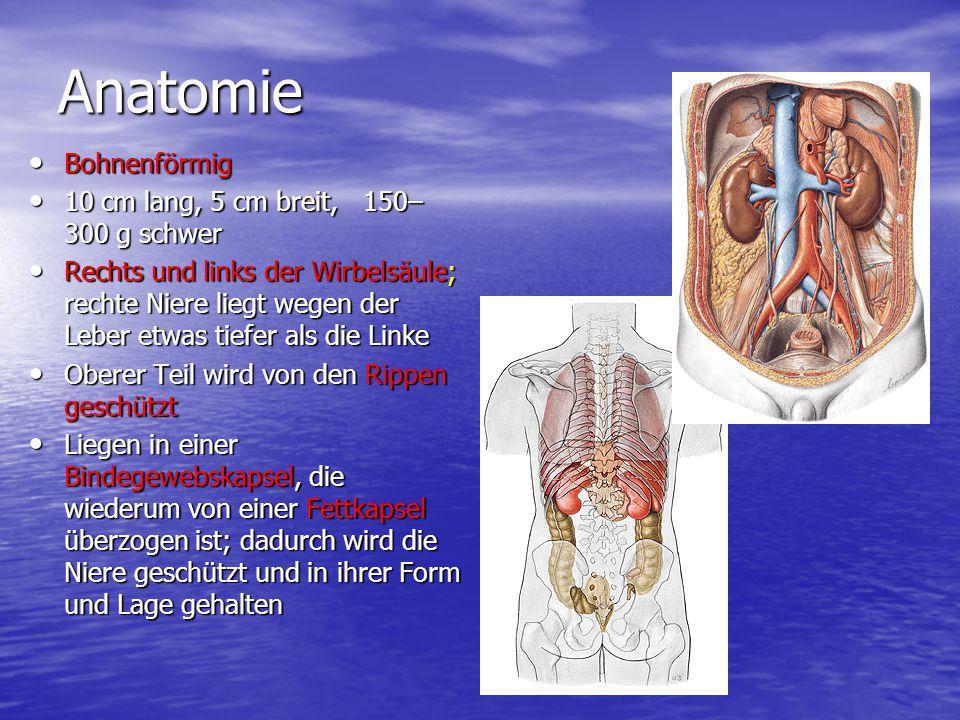 Anatomie Bohnenförmig Bohnenförmig 10 cm lang, 5 cm breit, 150– 300 g schwer 10 cm lang, 5 cm breit, 150– 300 g schwer Rechts und links der Wirbelsäul