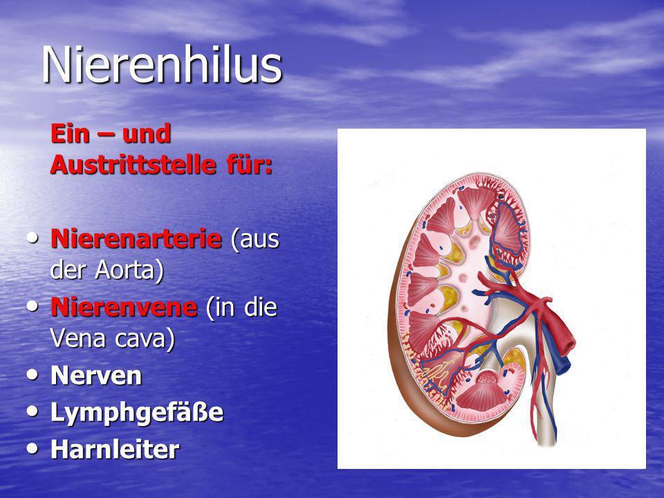 Nierenhilus Ein – und Austrittstelle für: Nierenarterie (aus der Aorta) Nierenarterie (aus der Aorta) Nierenvene (in die Vena cava) Nierenvene (in die