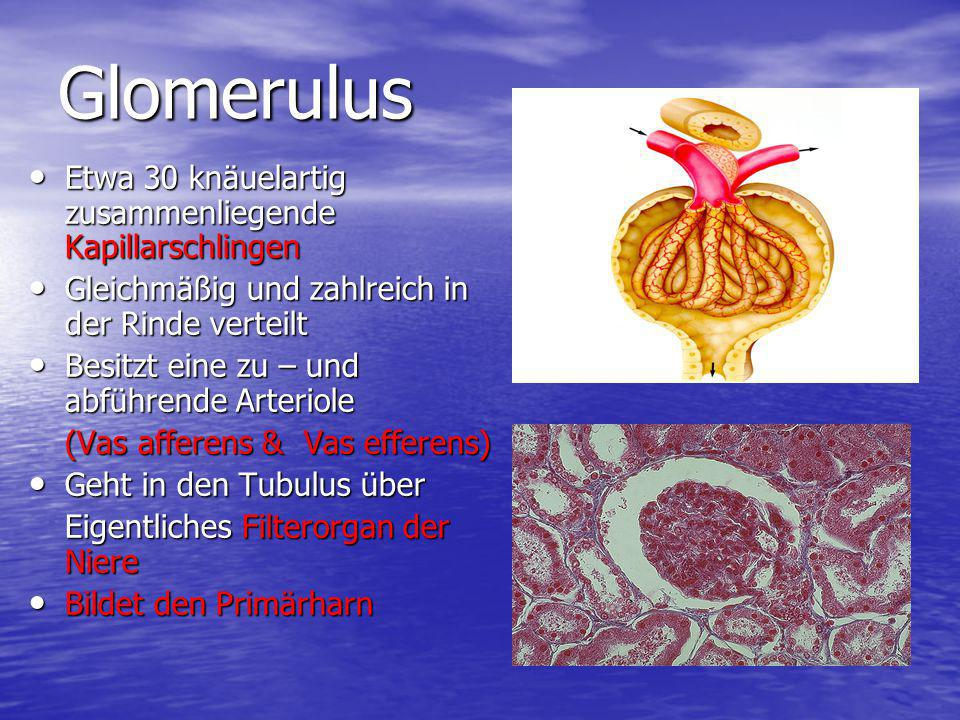 Glomerulus Etwa 30 knäuelartig zusammenliegende Kapillarschlingen Etwa 30 knäuelartig zusammenliegende Kapillarschlingen Gleichmäßig und zahlreich in