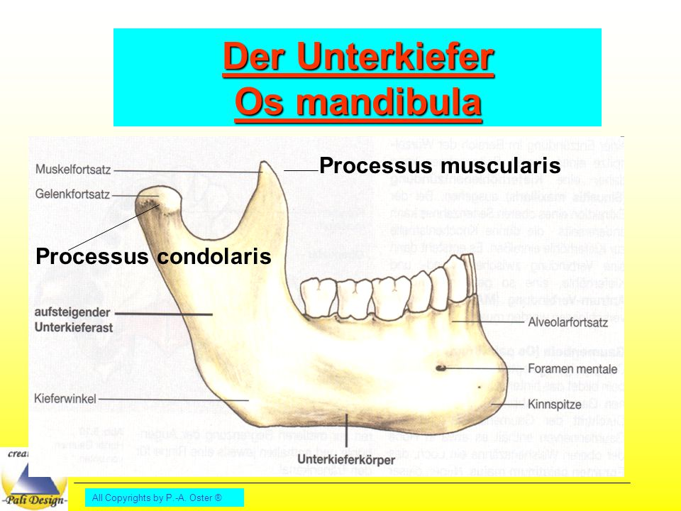 All Copyrights by P.-A. Oster ® Der Unterkiefer Os mandibula Processus muscularis Processus condolaris