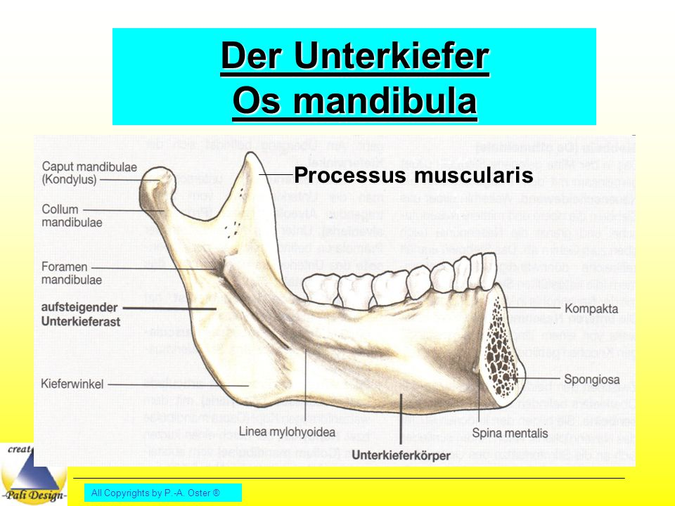 All Copyrights by P.-A. Oster ® Der Unterkiefer Os mandibula Processus muscularis