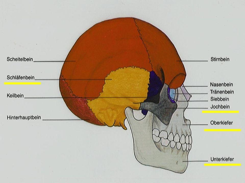 Knochen Von dem Hirnschädel und dem Gesichtsschädel merken wir uns folgende Knochen: Os temporale Schläfenbein =Os temporale besteht aus: Processus zygomaticus JochbeinfortsatzProcessus zygomaticus Pars petrosa FelsenbeinPars petrosa Mit dem Innenohr Processus mastoideus WarzenfortsatzProcessus mastoideus