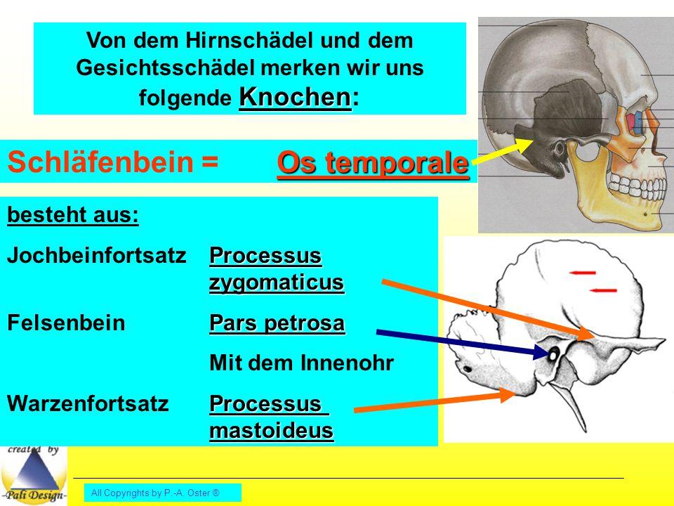 All Copyrights by P.-A. Oster ® Kiefergelenkpfanne Felsenbein mit Innenohr