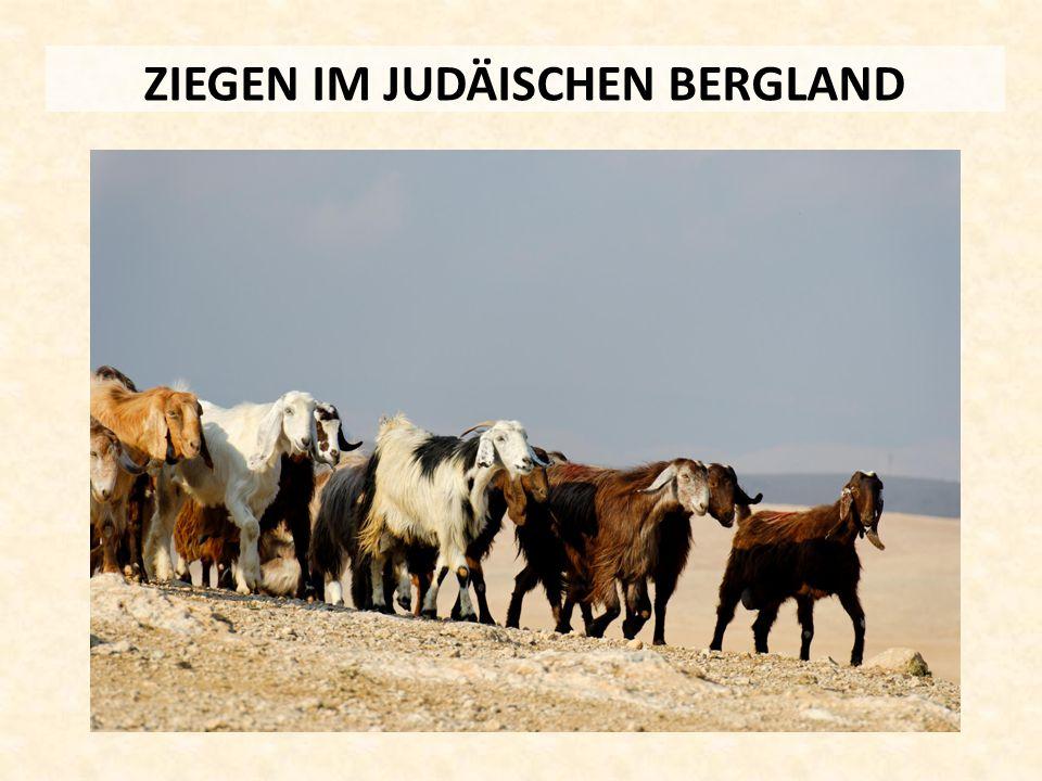ZIEGEN IM JUDÄISCHEN BERGLAND