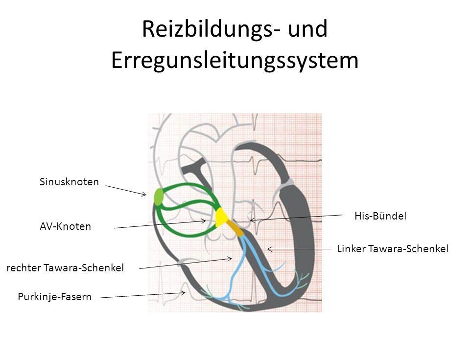 Reizbildungs- und Erregunsleitungssystem Sinusknoten AV-Knoten His-Bündel Linker Tawara-Schenkel rechter Tawara-Schenkel Purkinje-Fasern