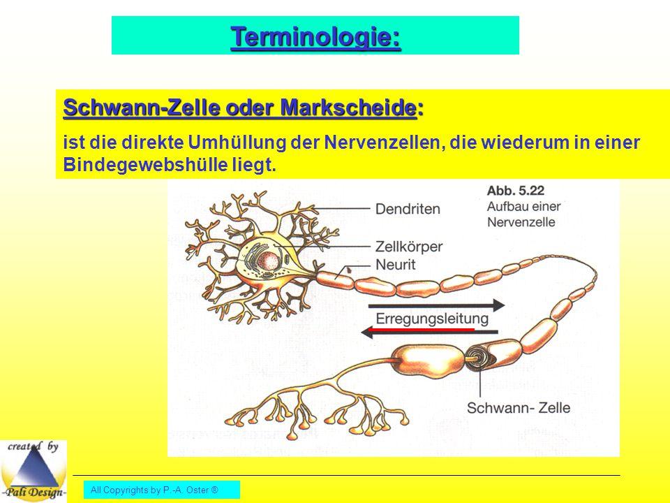 All Copyrights by P.-A. Oster ® Terminologie: Schwann-Zelle oder Markscheide: ist die direkte Umhüllung der Nervenzellen, die wiederum in einer Bindeg
