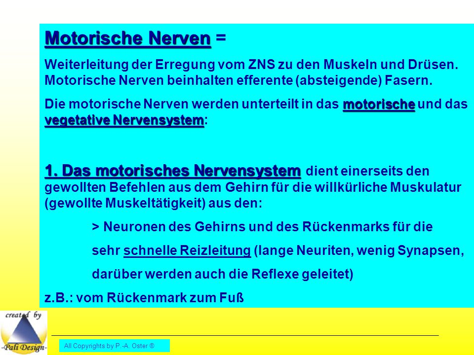 All Copyrights by P.-A. Oster ® Motorische Nerven Motorische Nerven = Weiterleitung der Erregung vom ZNS zu den Muskeln und Drüsen. Motorische Nerven