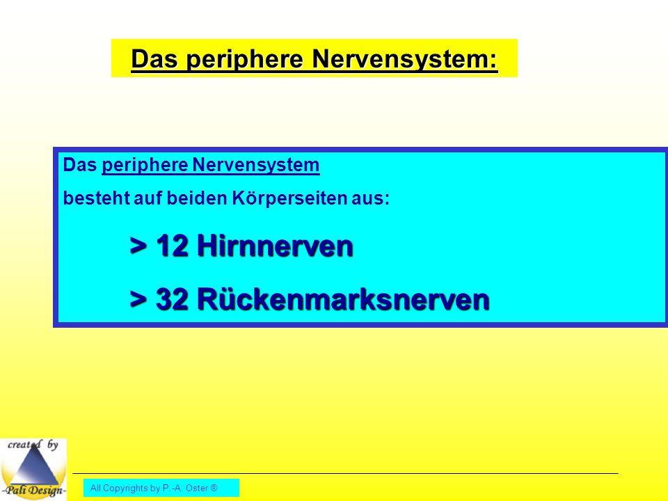 All Copyrights by P.-A. Oster ® Das periphere Nervensystem: Das periphere Nervensystem besteht auf beiden Körperseiten aus: > 12 Hirnnerven > 32 Rücke