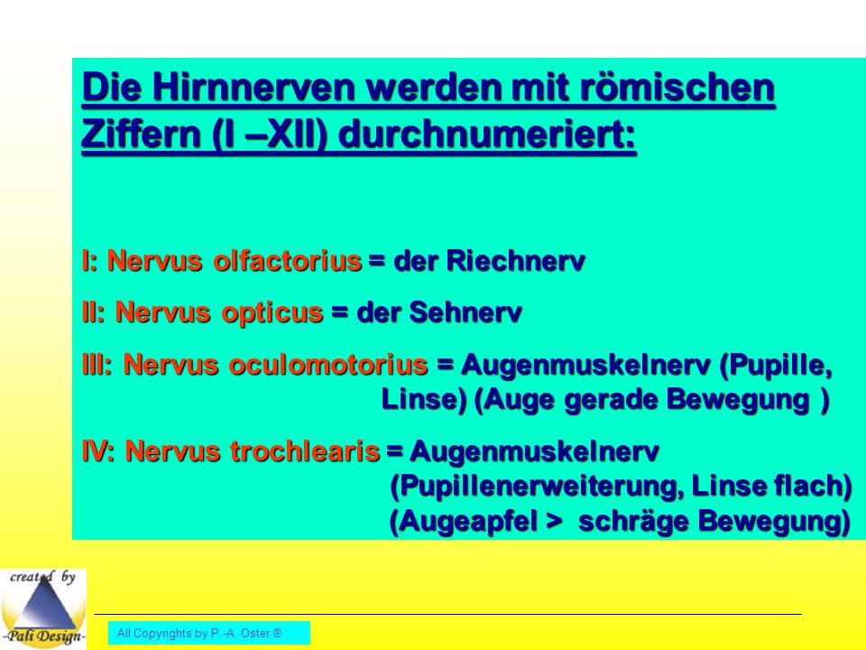 All Copyrights by P.-A. Oster ® Die Hirnnerven werden mit römischen Ziffern (I –XII) durchnumeriert: I: Nervus olfactorius = der Riechnerv II: Nervus