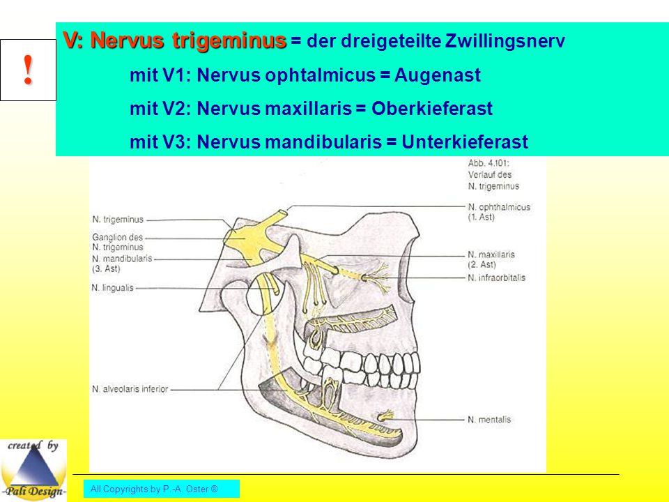 All Copyrights by P.-A. Oster ® V: Nervus trigeminus V: Nervus trigeminus = der dreigeteilte Zwillingsnerv mit V1: Nervus ophtalmicus = Augenast mit V