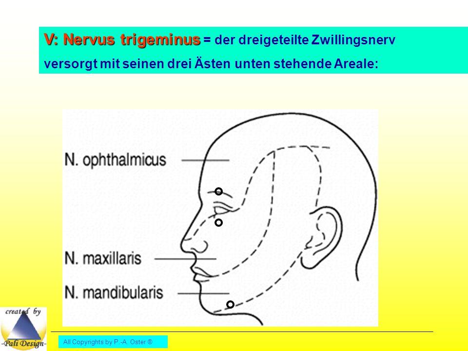 All Copyrights by P.-A. Oster ® V: Nervus trigeminus V: Nervus trigeminus = der dreigeteilte Zwillingsnerv versorgt mit seinen drei Ästen unten stehen