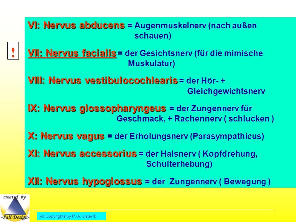 All Copyrights by P.-A. Oster ® VI: Nervus abducens VI: Nervus abducens = Augenmuskelnerv (nach außen schauen) VII: Nervus facialis VII: Nervus facial