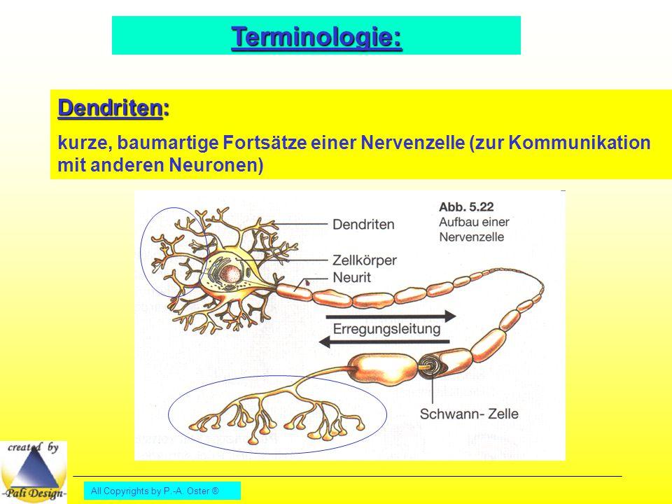 All Copyrights by P.-A. Oster ® Terminologie: Dendriten: kurze, baumartige Fortsätze einer Nervenzelle (zur Kommunikation mit anderen Neuronen)