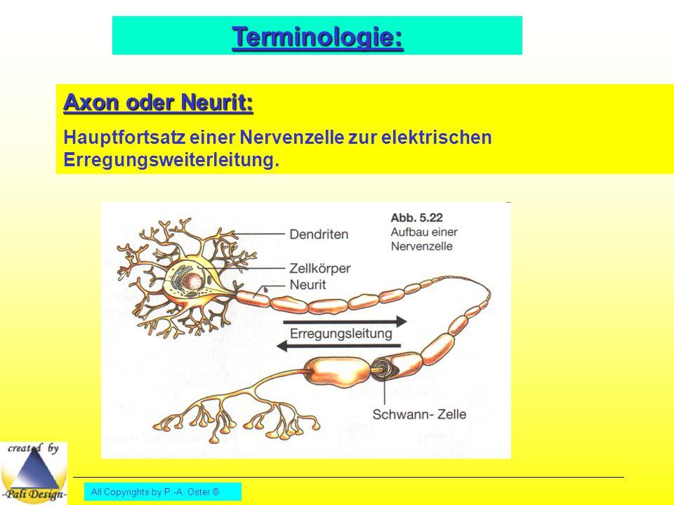 All Copyrights by P.-A. Oster ® Terminologie: Axon oder Neurit: Hauptfortsatz einer Nervenzelle zur elektrischen Erregungsweiterleitung.